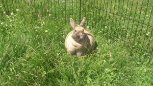 übergewicht-kaninchen