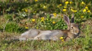 11 wildkaninchenschlafen