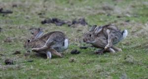5 kaninchenjagensich