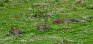 9 kaninchenruhen