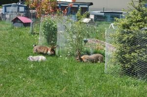 Garten pflanzen schützen kaninchen