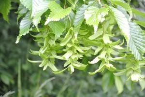 Hainbuche Blüte