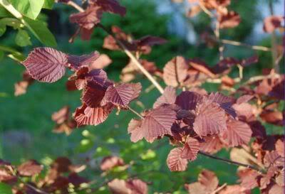 Roter haselnussbaum
