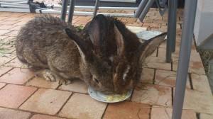 Ingwer-kaninchen