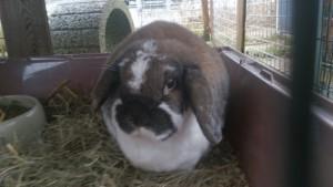 Kaninchen Bissverletzung Ohr halb
