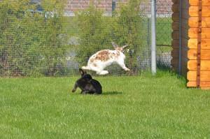 Kaninchen-rangkaempfe