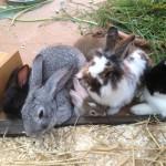 Sozialverhalten kaninchen