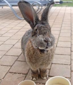 abszess-backe-kaninchen