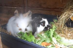 altes kaninchen frisst