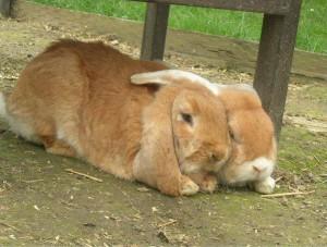 argumente-gegen-einzelhaltung-kaninchen