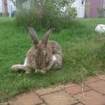 arthrose-kaninchen-putzt-sich