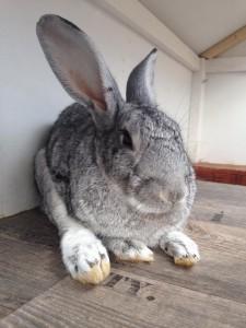 arthrose-sitz-kaninchen