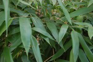 bambus-garten