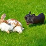 Sozialisierung - warum gibt es so viele schlecht verträgliche Kaninchen?