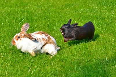 Rammelt kaninchen Rammeln
