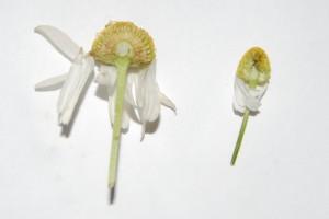 blütenboden