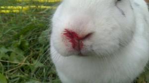 chinaseuche-kaninchen