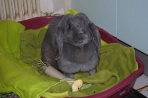 deutscher widder kaninchen