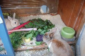 frischfutter fütterung kaninchen