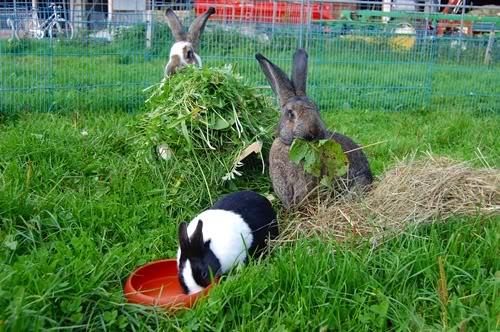 grünfutter-kaninchen