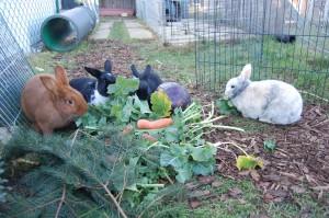 grünfütterung kaninchen