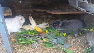 herbstfutter-kaninchen
