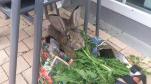 kaninchen-abszess-abgeheilt