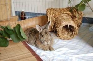 kaninchen-abszess-gesund