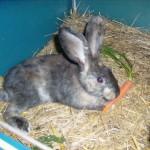 kaninchen-behindert
