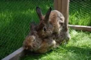 kaninchen-berammeln