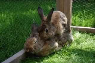Kaninchen Rammeln
