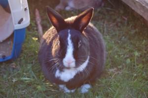 kaninchen-dick