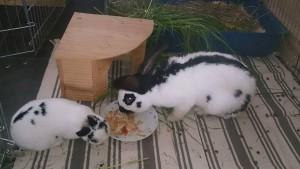 kaninchen eingeschränkt teppiche