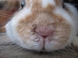 kaninchen-feuchte-nase