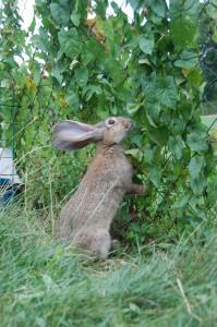 kaninchen frisst wicken