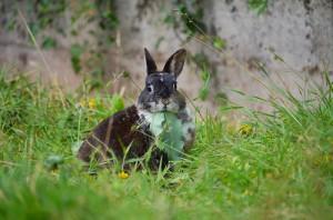 kaninchen frisst wiese