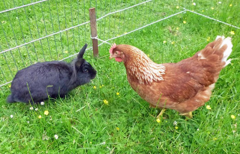 kaninchen-hühner