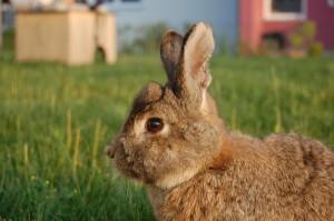 kaninchen-horn