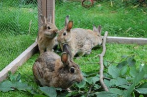 kaninchen im freilauf zweige