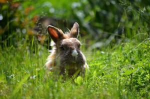 kaninchen-in-der-wiese