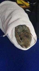 kaninchen in handtuch medikamente eingeben