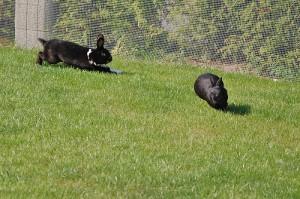 kaninchen-jagen-sich2
