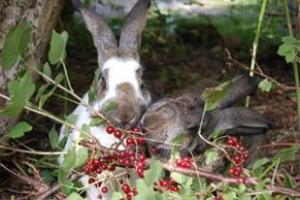 kaninchen-johannisbeeren