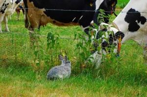 kaninchen kühe