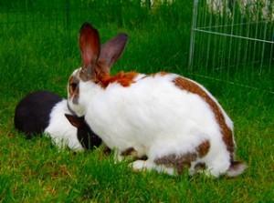 kaninchen-kopf-untergeschoben