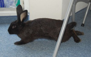 kaninchen lähmung hinterbeine