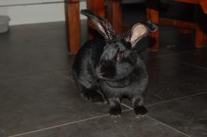 kaninchen ohrräude knickohr