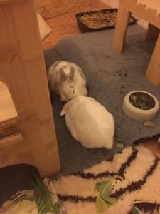 kaninchen schilddrüse