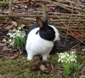 kaninchen-schneeglöckchen