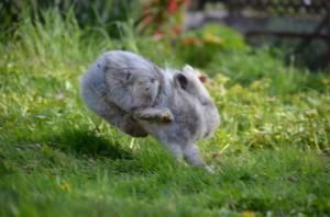 kaninchen-springt